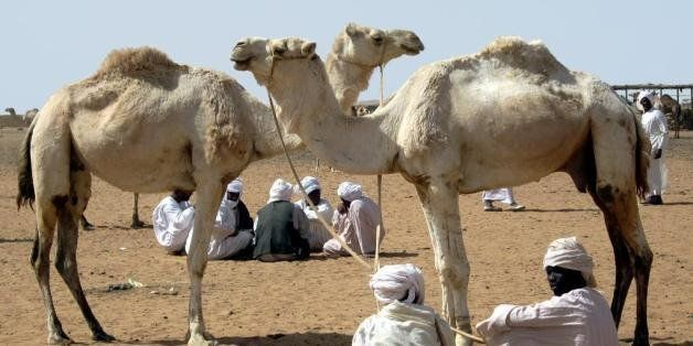 The animals for sale at the camel market on the far west side of Omdurman are often brought here from the Darfur region of Su
