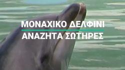 Μοναχικό δελφίνι αναζητά