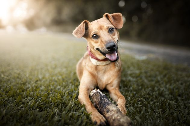Dogs Aren't Half As Clever As We Think They Are, Study