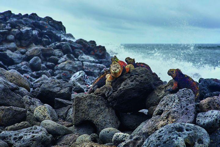 천혜의 땅, 산타크루즈섬의 이구아나