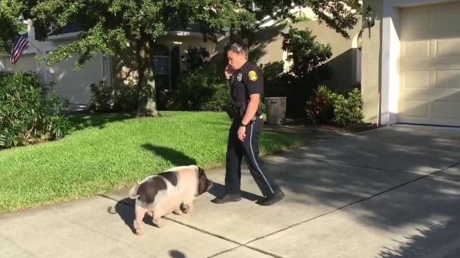 Polizisten wollen verlorenes Schwein zurückbringen – doch das hat etwas anderes