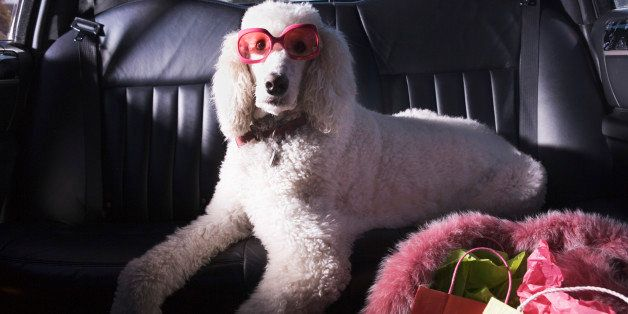 Standard Poodle in car wearing sunglasses