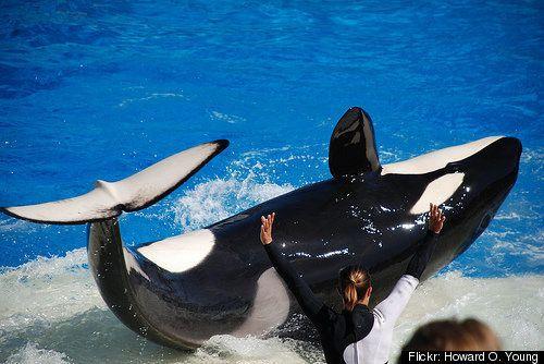 Shamu's Twitter SHUT DOWN After Killer Whale Tilikum Kills Trainer