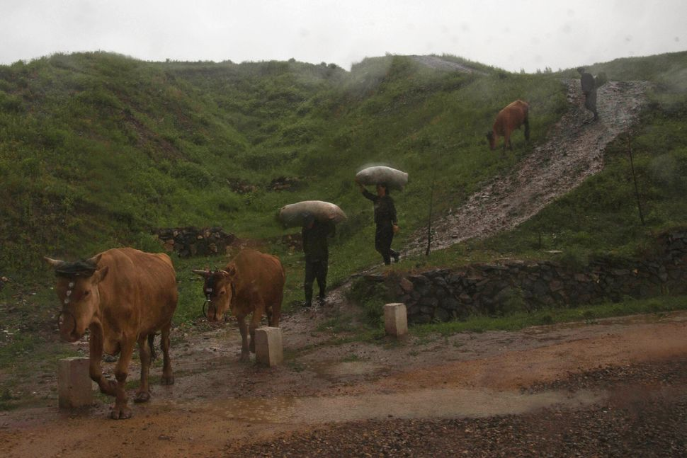 In this June 16, 2014 photo, farmers walk in a rainstorm with their cattle near the town of Hyesan, North Korea in Ryanggang