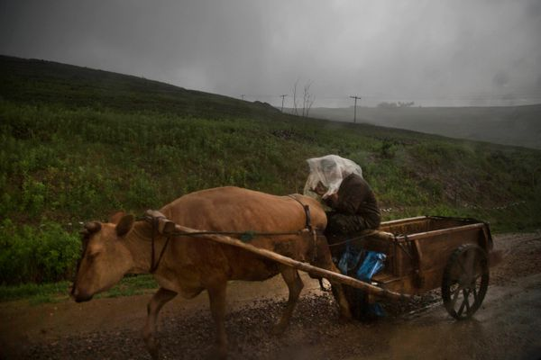 In this Monday, June 16, 2014 photo, a North Korean man driving an ox cart protects himself in a rainstorm south of Hyesan, N