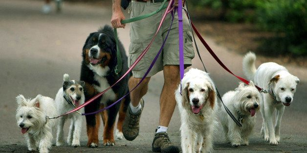 BOSTON - AUGUST 8: A bunch of happy-looking dogs take their dog-walker for a stroll through the Boston Public Garden. (Photo