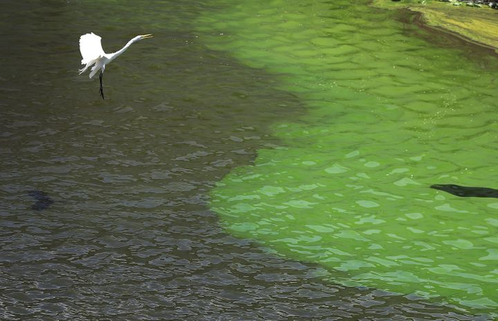 A crane flies over the green algae blooms that are seen at the Port Mayaca Lock and Dam on Lake Okeechobee in July.