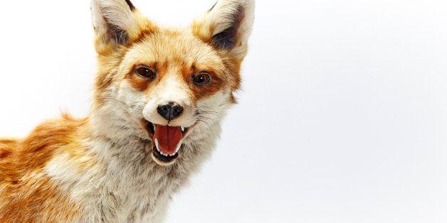 Fox against white background