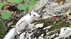 10만분의 1 정도밖에 안 된다는 '알비노 다람쥐'가 설악산에 나타났다