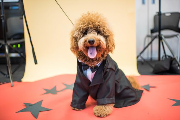 Meet Samson, the 1-year-old mini Goldendoodle with an impressive 33K followers on Instagram! He's a Brooklyn transplant haili