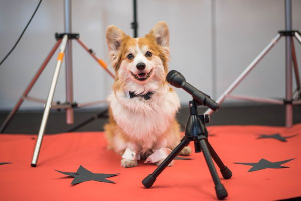 Meet Cooper the Corgi. This spritely 12-year-old competes in agility at the Westminister Dog Show. And man, can he rock a bow