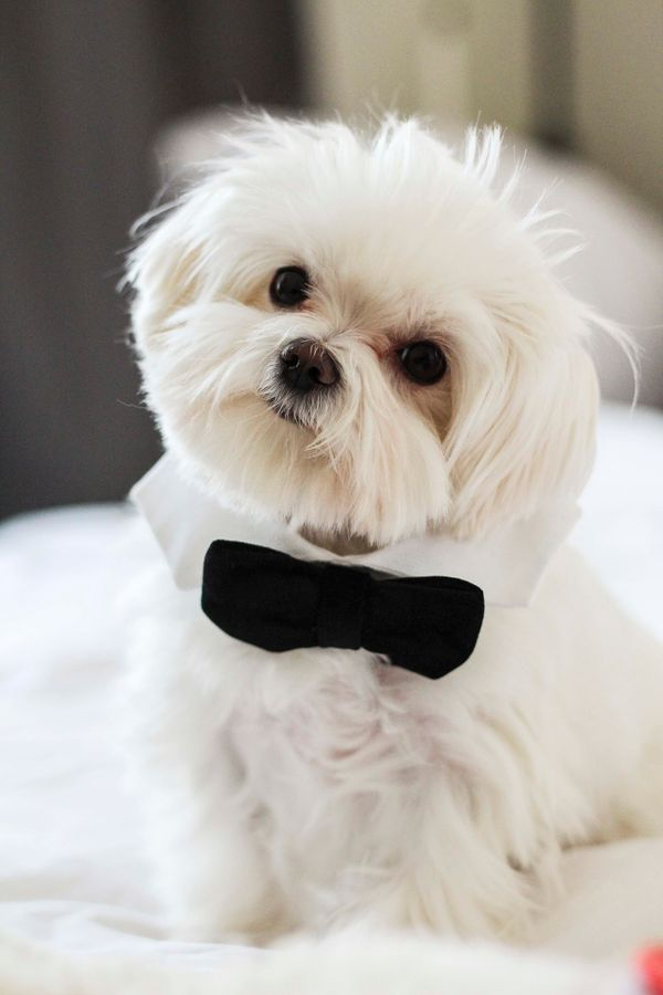 Milo is a 3-year-old Maltese from Toronto, Canada. He's also an adorable fluffball that we would be honored to cuddle. Milo c