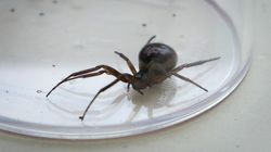 Schools Closed For Up To A Month After False Widow Spider