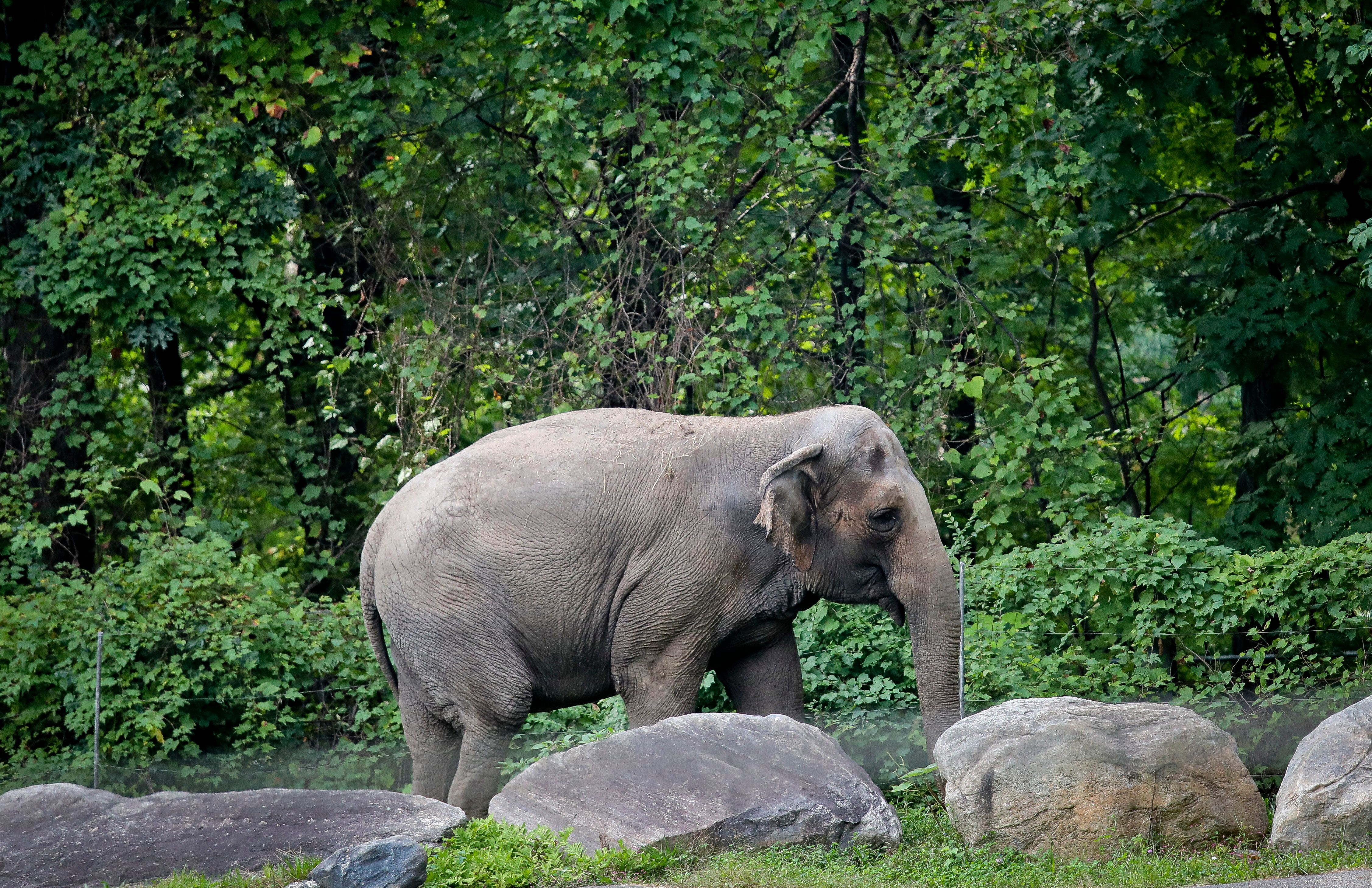 Happy the elephant at the Bronx Zoo in October 2018.