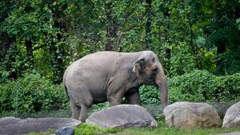 """Bronx Zoo elephant """"Happy"""" strolls inside the zoo's Asia display, Tuesday Oct. 2, 2018, in New York. An animal welfare group has brought a legal action against the Bronx Zoo on behalf of Happy, who was separated from the zoo's two other elephants after they fatally injured her mate, arguing that the animal has similar rights to a human being and is being """"unlawfully imprisoned."""" (AP Photo/Bebeto Matthews)"""