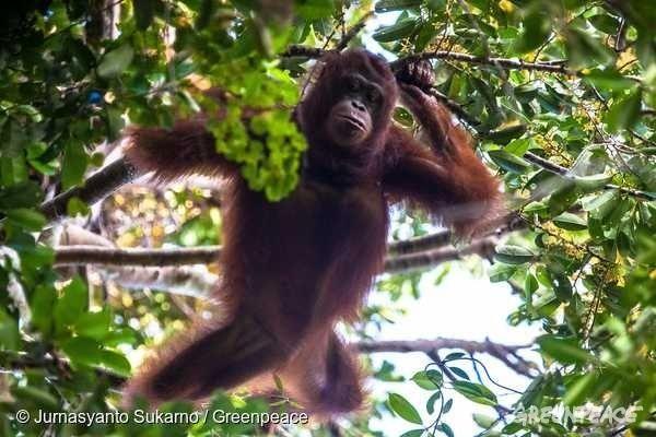 야생 암컷 오랑우탄 로사가 나무 위에서 과일을 찾고 있다