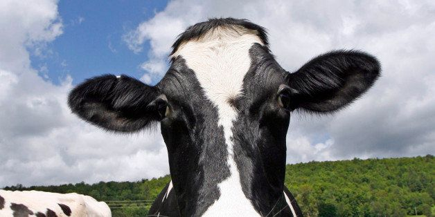 This June 16, 2009 photo shows a Holstein cow at Coventry Valley Farm in Coventry, Vt. Yogurt maker Stonyfield Farm wants its