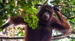 오랑우탄은 지금 멸종 위기에 처해