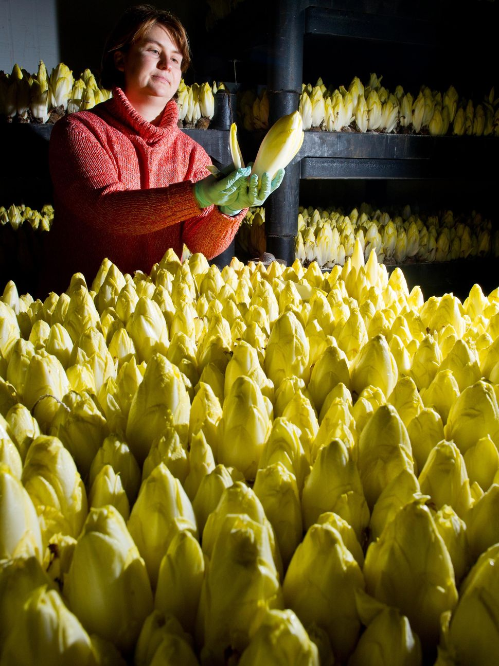 Mandy Diehr, employee of the Landgut Pretschen farm, checks the maturity of chicory plants on Jan. 2, 2014 in Pretschen, east