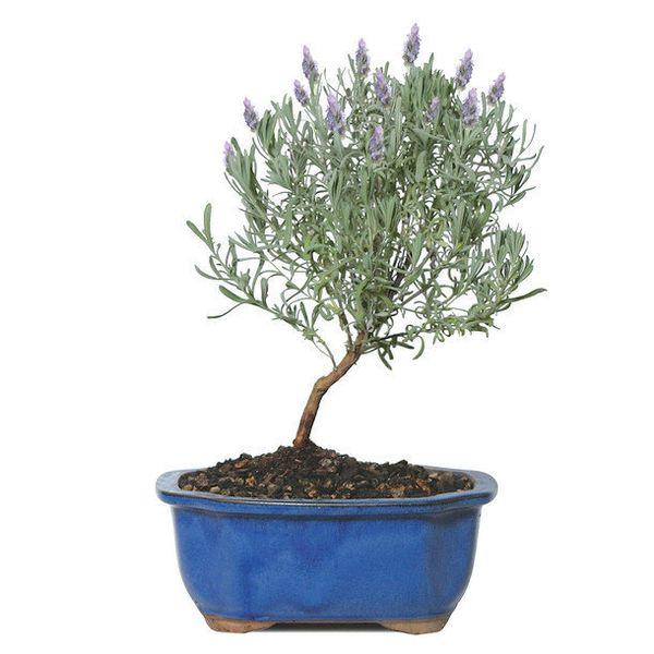 "<a href=""http://fab.com/product/mini-lavender-tree-497729/?pref[]=attr%7C&ref=browse&pos=3"" target=""_blank"">Fab.com</a>, $32."