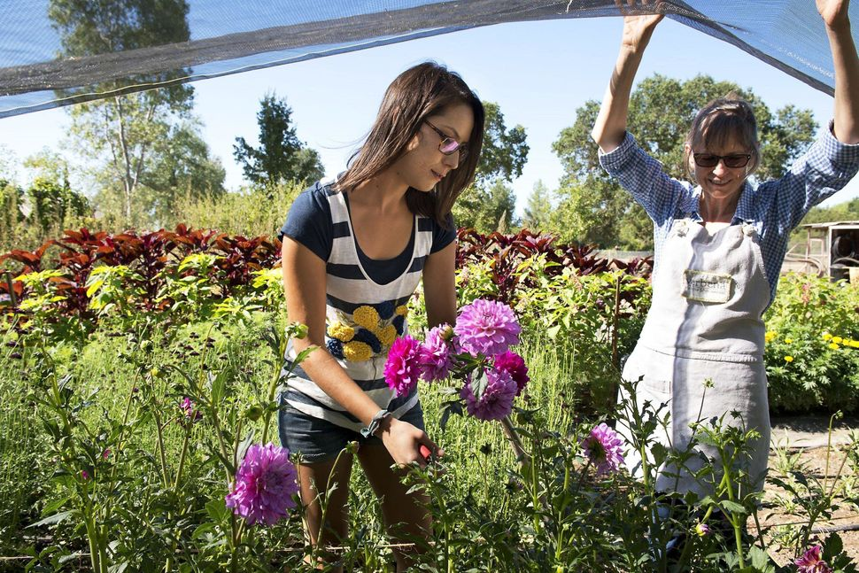 Farmers/florists Karly Plarisan, left, and her mother, Karen, cut dahlias from their flower garden at Verbena Flowers and Tri