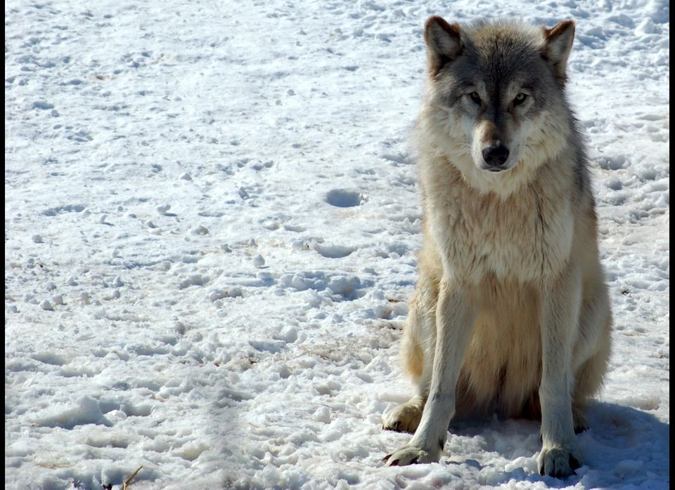 The dog is the wolf who decided to make human society its habitat and put its fate in human hands. But which of many subspeci