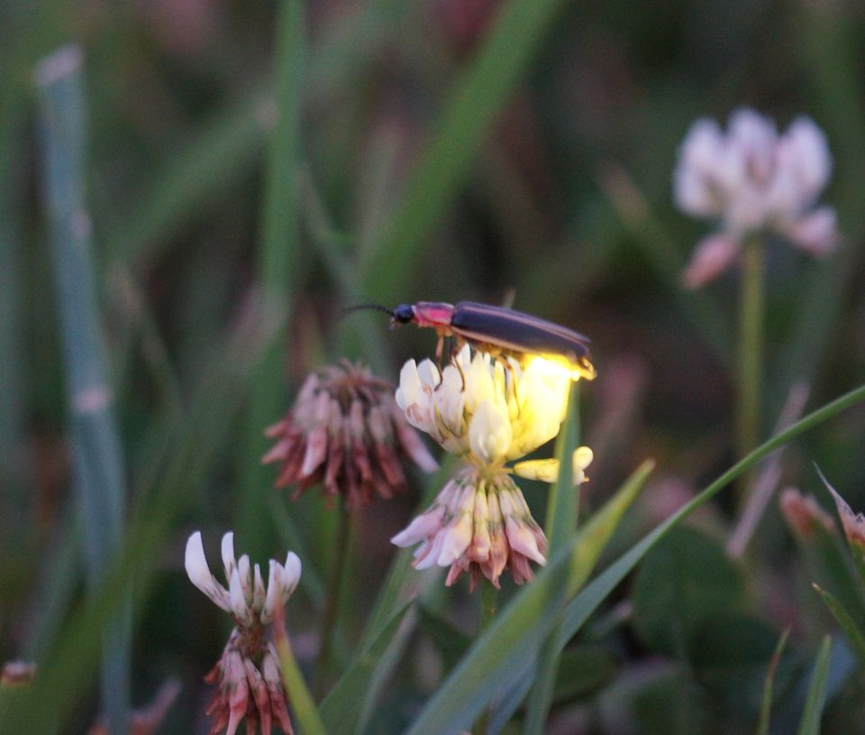 Fireflies are actually beetles and not flies. Males and females communicate with a series of flashes of light that are like a
