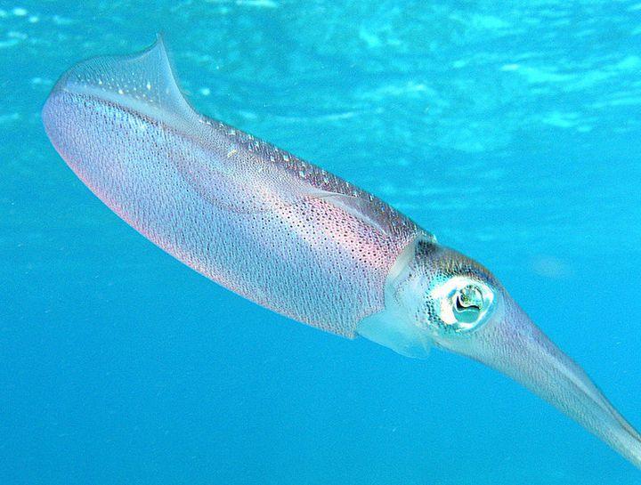 Caribbean Reef Squid (Sepioteuthis sepioidea ) (Blainville, 1823) Photographed by en:User:Janderk | Jan Derk  in March 2005 o