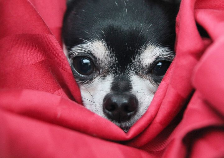 a cute  chihuahua in  a blanket ...