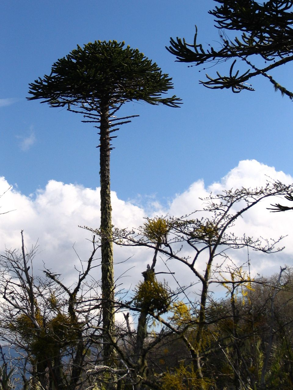 A weird conifer native to Chile and Argentina, this tree can trace its ancestry back 180 million years.  The trees, which can