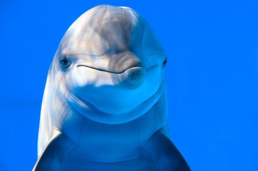 When dolphins are sick or in pain, they issue a two-part distress whistle. Sometimes, other dolphins will stop their own call