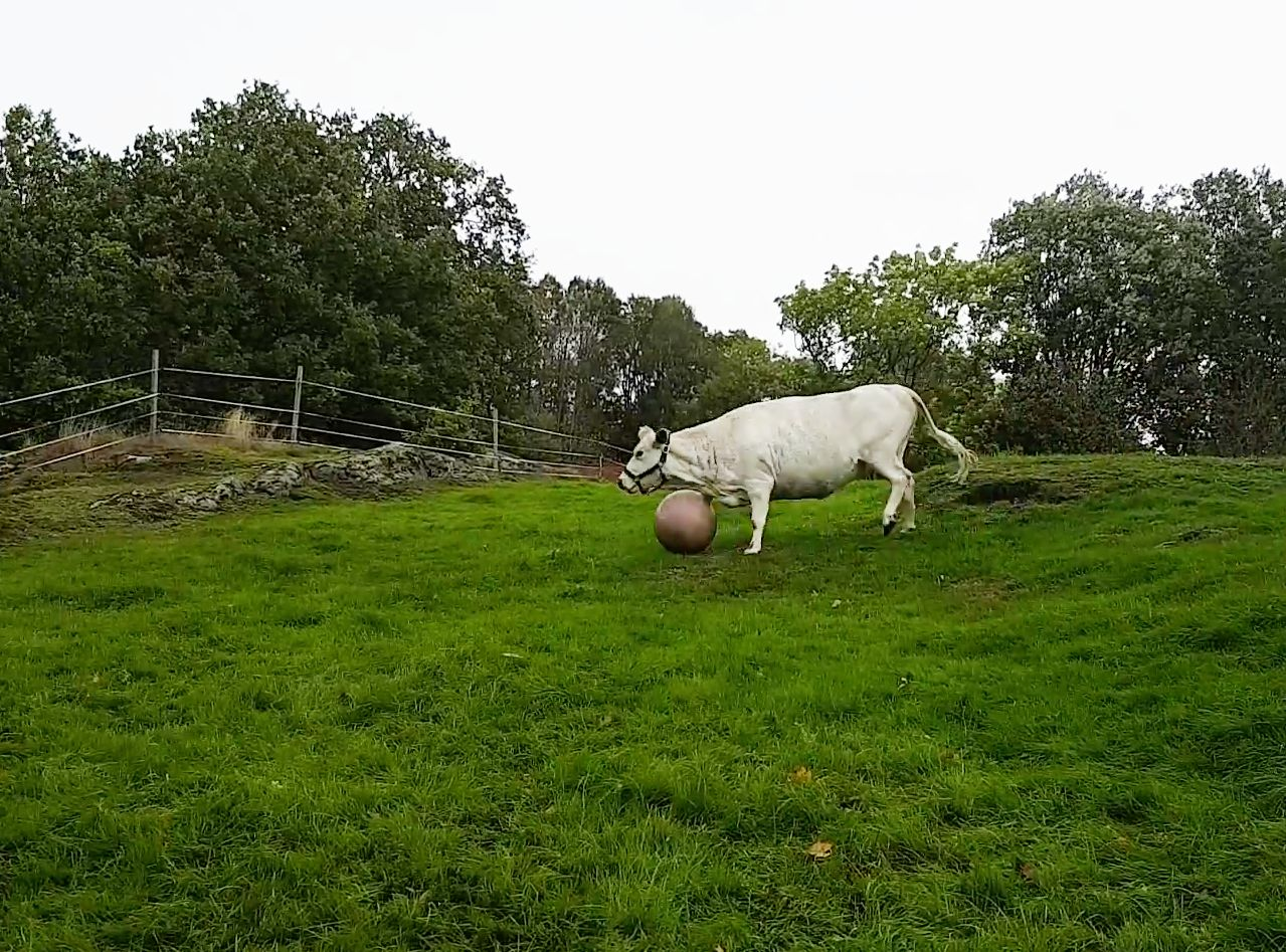 Moo-ve Over Messi: Watch This Cow Play Football (Plus Four Other Animals To End The