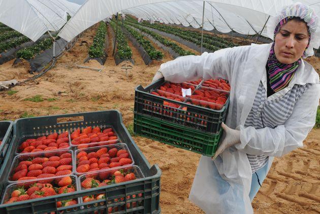 Au moins 1500 cueilleuses de fraises auraient profité de la campagne 2017-2018 pour rester en