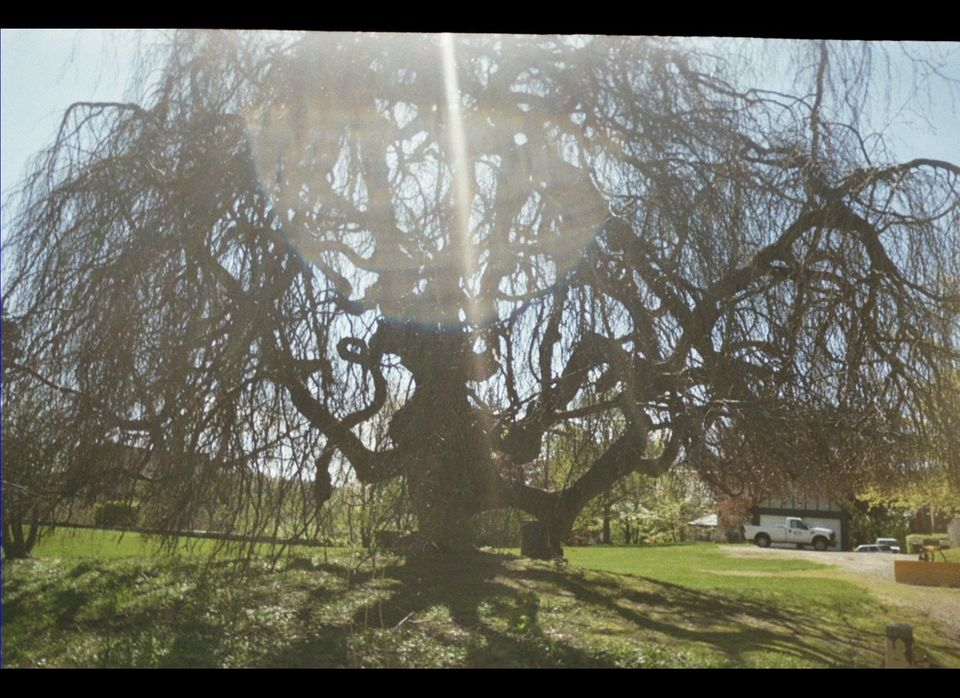This amazing Weeping beech tree stands on the property in Worcester, Massachusetts where Esther Forbes, author of the great N