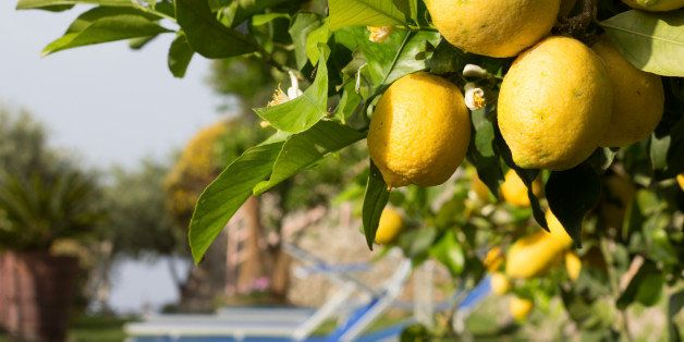 Lemon groves are common on the Amalfi Coast. This image is of lemons overlooking sun loungers in a Amalfi resort.
