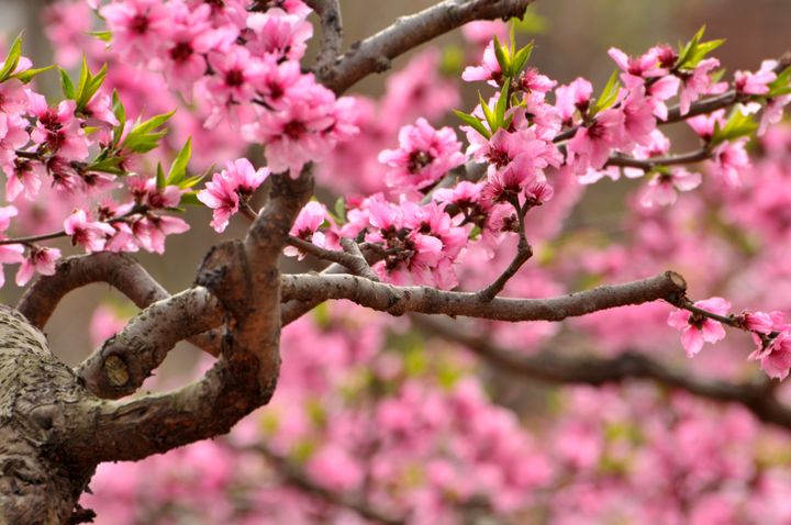 Blossom cherry flowers in spring