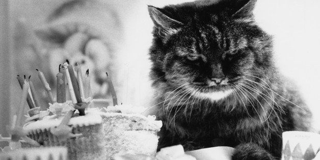 A twenty-seven-year-old cat celebrates her birthday, 22nd August 1977. (Photo by Colin Davey/Evening Standard/Hulton Archive/