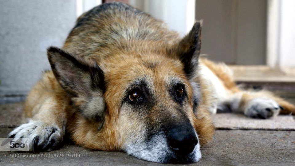 I guess this is what being old is like, as shown by this dog's reflective gaze.