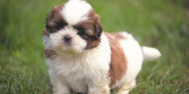 A Shih Tzu Standing on Grass, Front View, looking at Camera, Differential Focus