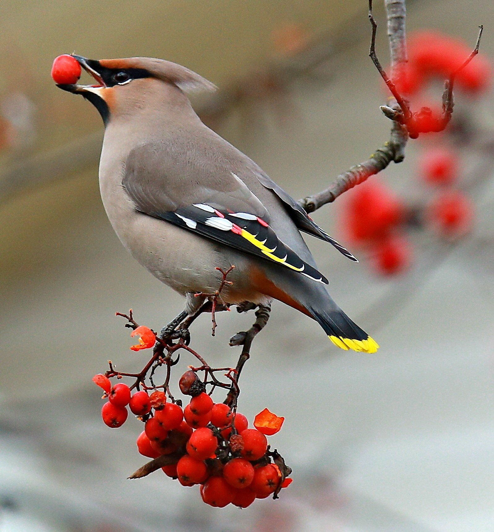 PLYOS, RUSSIA  OCTOBER 16, 2016: A waxwing eating rowan berries. Vladimir Smirnov/TASS (Photo by Vladimir Smirnov\TASS via Getty Images)