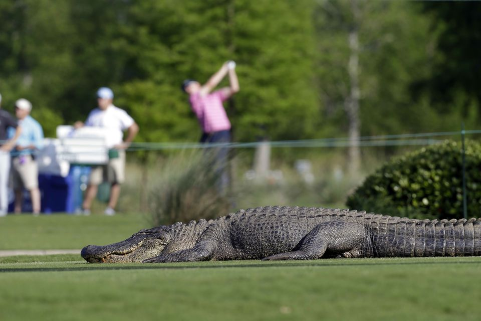 An alligator crosses through the course during the first round of the PGA Zurich Classic golf tournament at TPC Louisiana in