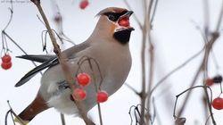 열매를 먹고 '취한' 미네소타 새들이 헤매고
