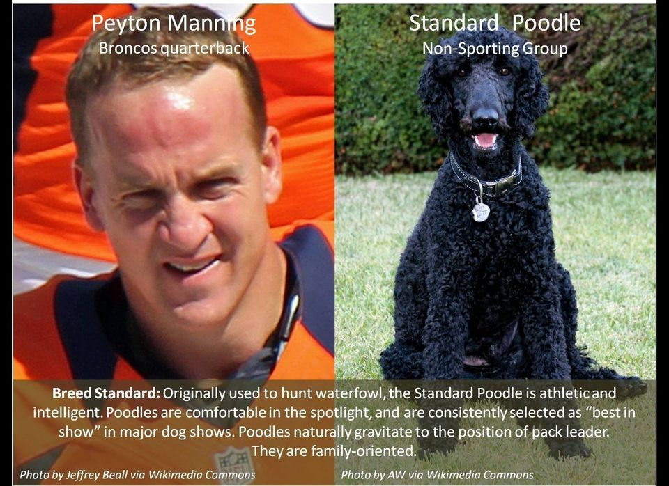Breed Standard: Originally used to hunt waterfowl, the Standard Poodle is athletic and intelligent. Poodles are comfortable i