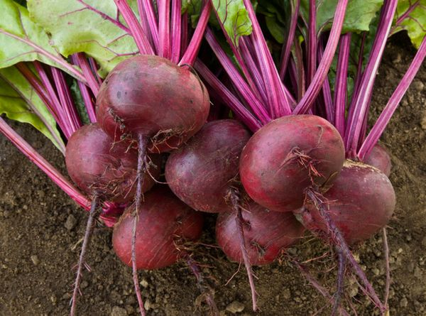 The pigment betacyanin, which gives beets their distinctive hue, is just one of several disease-fighting phytonutrients found