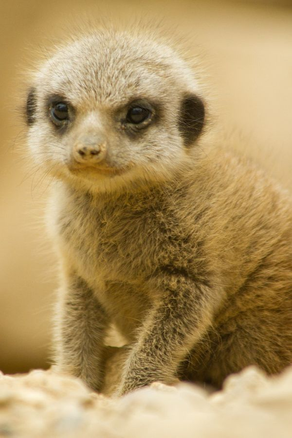 Those big, dark eyes. That head-furze. The EARS. Makes sense that this baby meerkat is taking cuteness seriously: These anima