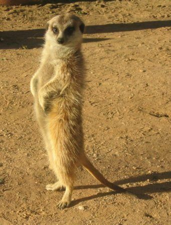 """<a href=""""http://commons.wikimedia.org/wiki/File:Suricata.jpg"""">This meerkat is probably standing sentry so the others in her c"""