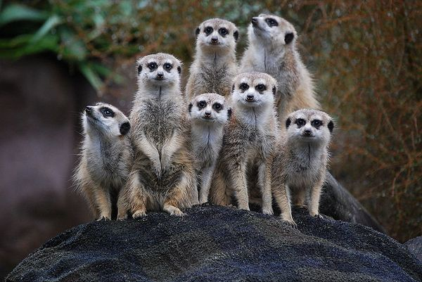 """Meerkats -- like this group from the<a href=""""https://www.facebook.com/AKLZOONZ""""> Auckland Zoo</a> -- live together in colonie"""