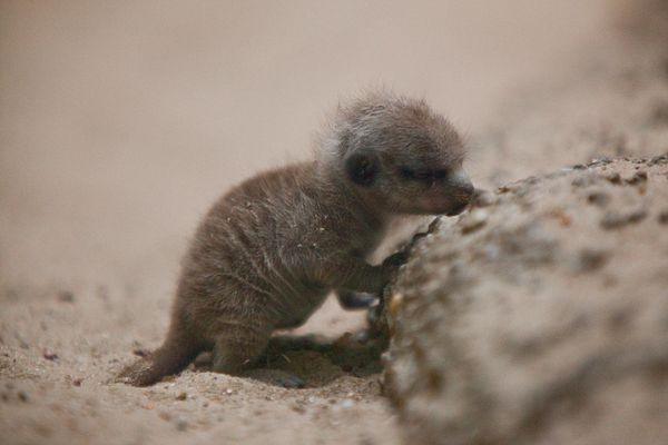 """Well, at least this teensy infant meerkat <em>seems</em> to be napping standing up. Either way, our response is, """"Awww."""" <a h"""