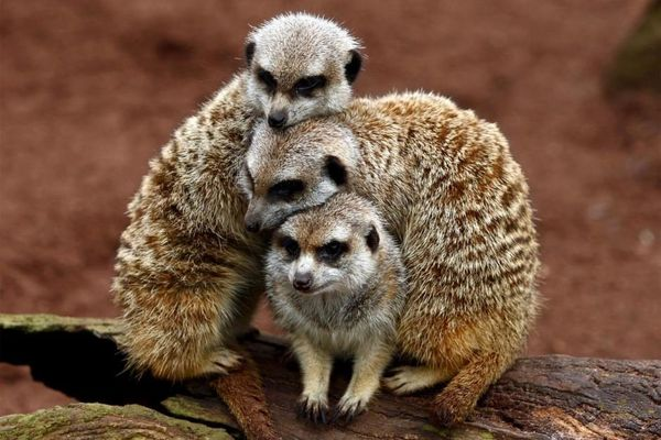 """Recipe for a rough day: Look at <a href=""""http://www.abc.net.au/news/2011-05-27/three-meerkats-huddle-together-to-keep-warm/27"""