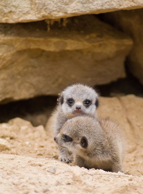 Meerkat young are known to show off. Here, a couple of pups at the Butterfly House in South Yorkshire chew the scenery.  Chec